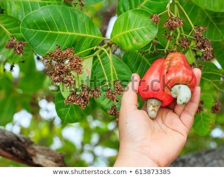 Mão colheita caju fruto maçã comida Foto stock © galitskaya
