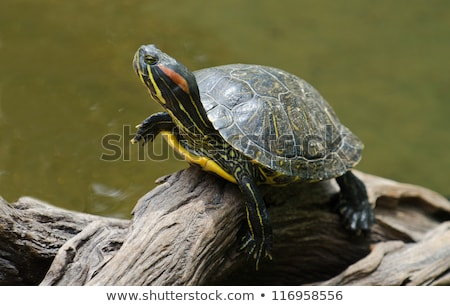 Red-eared slider Stock photo © craig