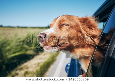Dog in Car Stock photo © suerob