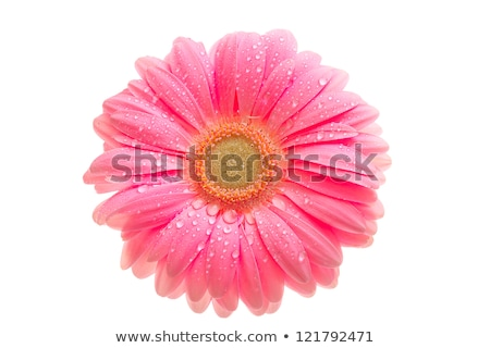 one pink flower with dew stock photo © boroda