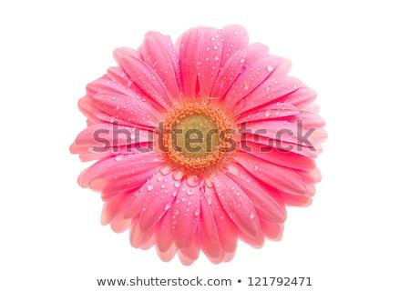 Bir pembe çiçek çiy yalıtılmış beyaz Stok fotoğraf © boroda