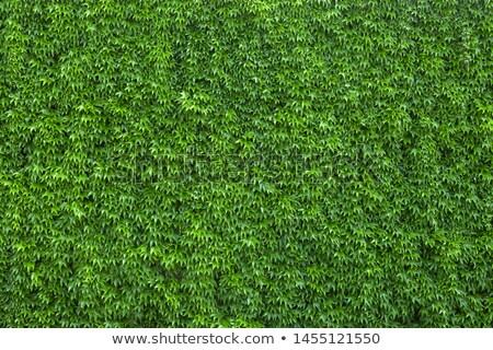 ツタ カバー 建物 壁 背景 緑 ストックフォト © njnightsky