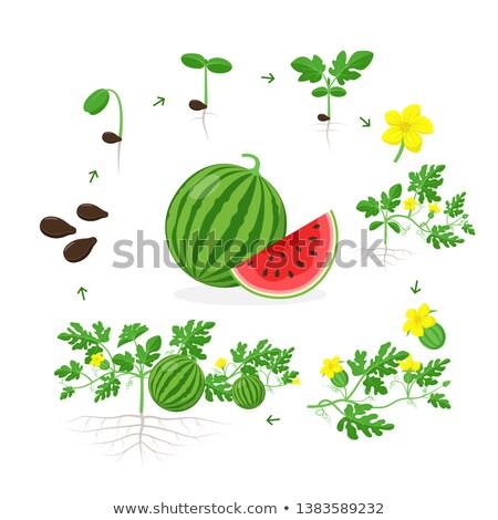 Karpuz tohum makro görüntü bahar yeşil Stok fotoğraf © saje