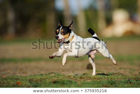 fox terrier in the field stock photo © taviphoto