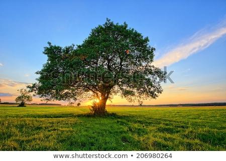 Stockfoto: Eenzaam · boom · zonsondergang · permanente · veld · hemel
