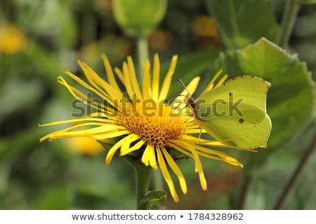 Kelebek görüntü makro çiçekler doğa hayvan Stok fotoğraf © Kirschner