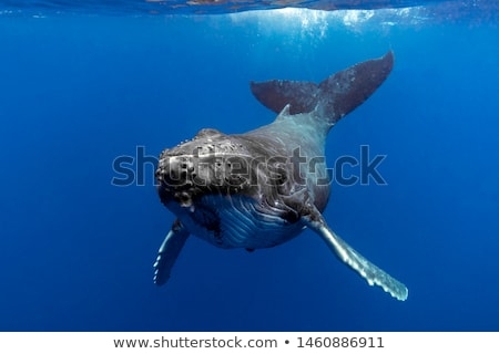 Swimming whale Stock photo © zzve