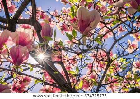 Manolya ağaçlar çiçekler park güneş Stok fotoğraf © photocreo