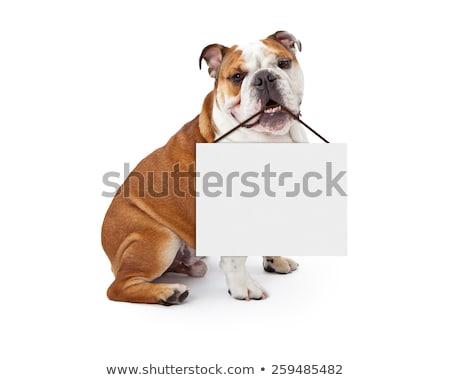 Сток-фото: Bull Dog Holding A Sign