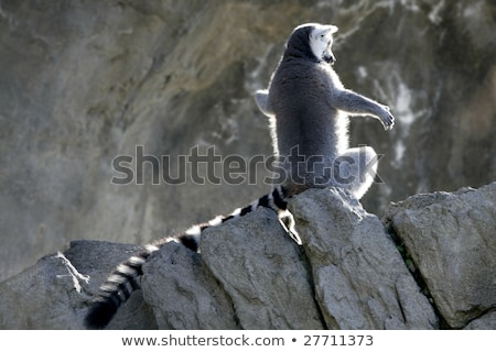 Madagascar Lemur getting sun bath Stock photo © lunamarina