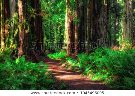 road through the redwood forest stock photo © wolterk