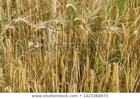 olgun · arpa · doğa · manzara · meyve · çiftlik - stok fotoğraf © lightpoet
