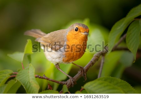 european robin erithacus rubecula stock photo © dirkr
