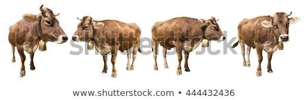 Fiatal tehén harang portré barna fehér Stock fotó © photosebia