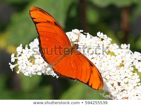 Kettő színes pillangó természet piros állatok Stock fotó © hlehnerer