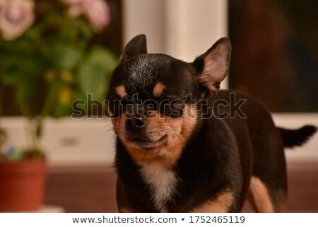 Pequeño mullido perro tienda mirando Foto stock © suemack
