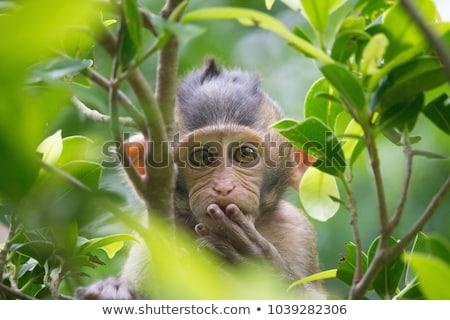 Stock fotó: Vicces · majom · portré · Krabi · Thaiföld · fa