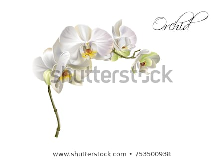 Stock fotó: Orchidea · virágok · izolált · fehér · virág · fürdő