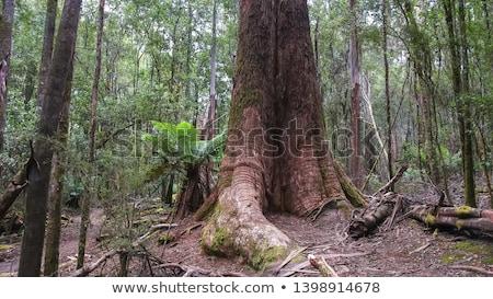 Lang bomen regenwoud tasmanië twee Stockfoto © roboriginal