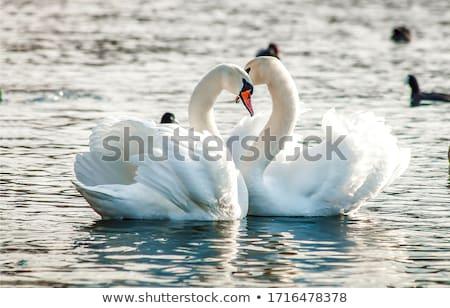 Stock fotó: Fehér · hattyú · úszik · víz · háttér · madár