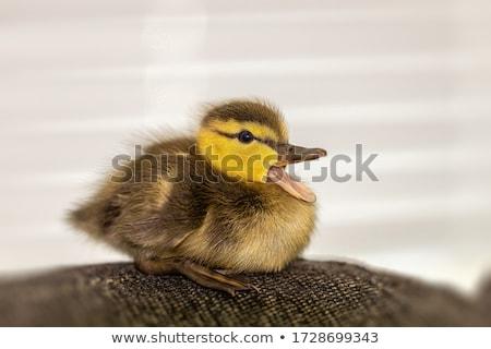 ducklings following mother in water concept stock photo © jaffarali