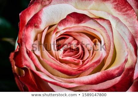 fehér · rózsa · üveg · váza · levelek · klasszikus - stock fotó © nizhava1956