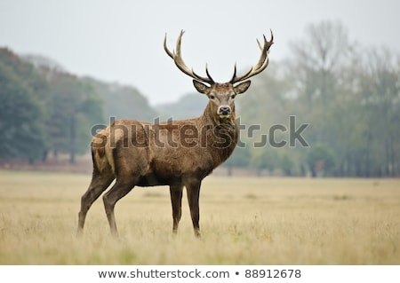 red deer doe portrait stock photo © photosebia