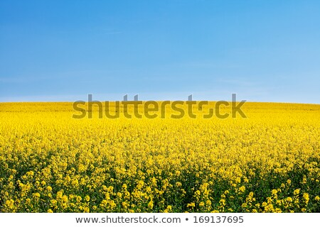 Yellow Rape and Blue Sky Stock photo © courtyardpix