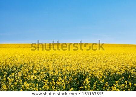 Amarillo violación cielo azul campo flor verano Foto stock © courtyardpix