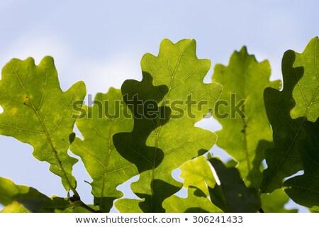Some oak leafs on tree on a blue sky background Stock photo © DedMorozz