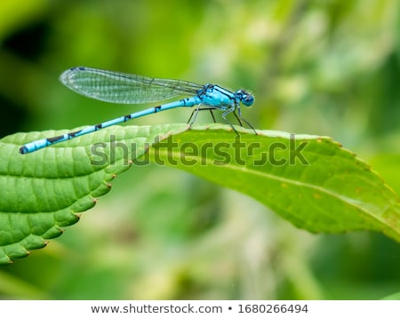 Damselfly Stock photo © pazham