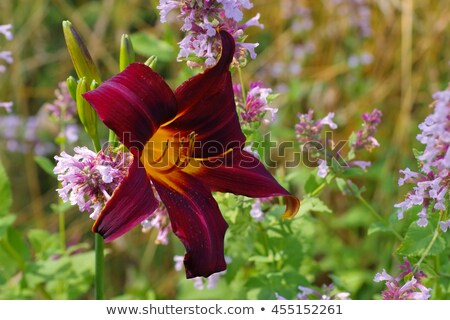 daylily of the species Congo Beauty Stock photo © LianeM