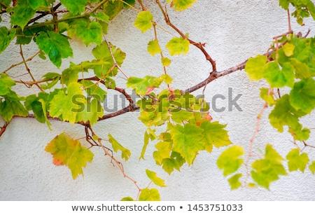 ブドウ 成長 壁 ブドウ アップ ホット ストックフォト © Klinker
