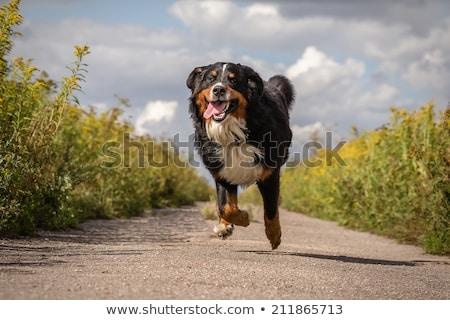 playful pet running stock photo © bluering
