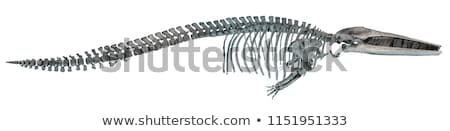 Skeleton of a whale Stock photo © bluering