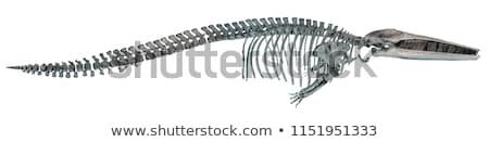убийца · кит · вектора · clipart · иллюстрация · плаванию - Сток-фото © bluering
