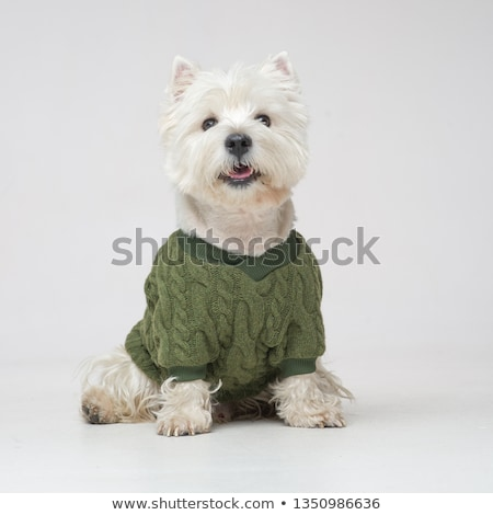 Stock photo: white west highland terrier portait in studio