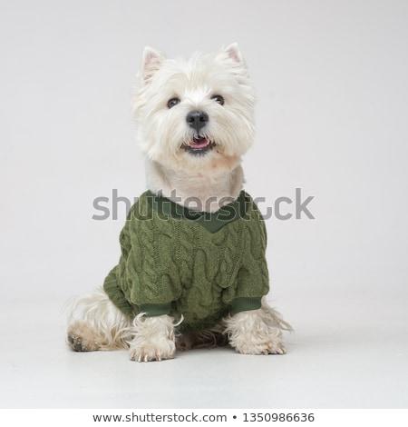 white west highland terrier portait in studio stock photo © vauvau