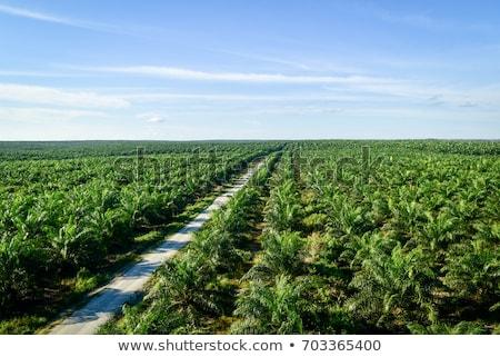 Plantação palmeiras topo ver Foto stock © Mikko