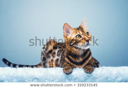 Bengalski kot kotek cztery miesiąc Zdjęcia stock © Lana_M