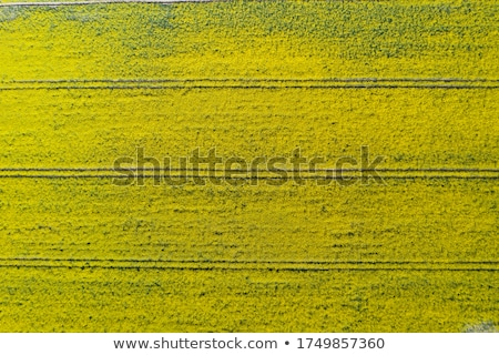 Aerial view of cultivated rapeseed field from drone pov Stock photo © stevanovicigor