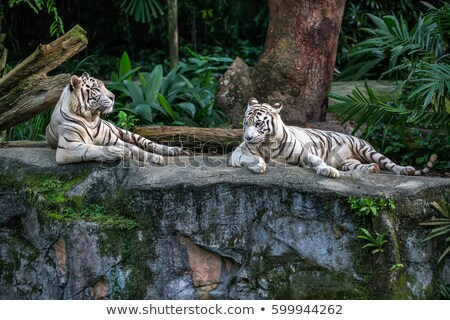 Iki kaplanlar hayvanat bahçesi örnek doğa arka plan Stok fotoğraf © bluering