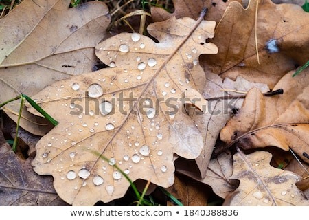 leaves with raindrops stock photo © martin33