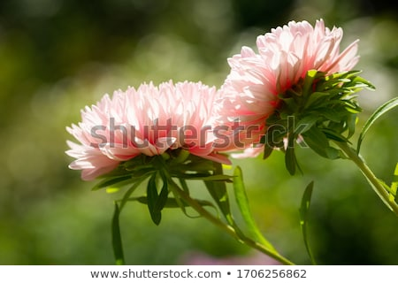Colorful aster flowers Stock photo © Lana_M