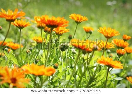 Orange pot marigold bloosom - Calendula officinalis field . Stock photo © Virgin