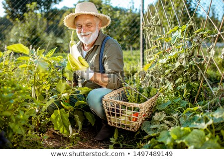 Man in garden collecting vegetables Stock photo © IS2