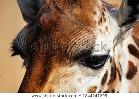 Zürafa kafa hayvan doğa yaban hayatı Stok fotoğraf © dolgachov