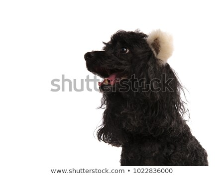 side view closeup of a poodle wearing bear ears  Stock photo © feedough