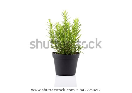 Rosemary plant in white pot Stock photo © sumners