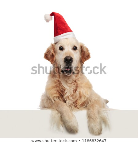 excited santa labrador pants and lies with legs hanging Stock photo © feedough